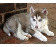 Siberian husky puppy for sale in Kolkata