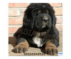 Tibetan mastiff puppy price in kolkata, Tibetan mastiff puppy for sale in kolkata