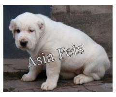Alabai puppy price in Madurai, Alabai puppy for sale in Madurai