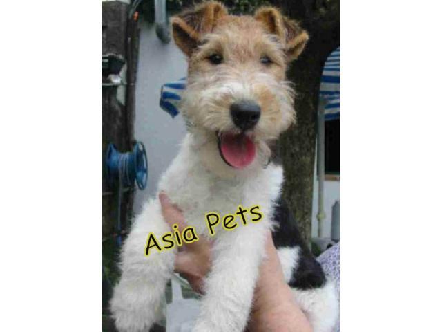 Fox Terrier puppy price in Madurai, Fox Terrier puppy for sale in Madurai