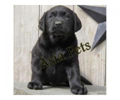 Labrador puppy price in Madurai, Labrador puppy for sale in Madurai