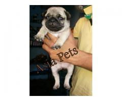 Pug puppy price in Madurai, Pug puppy for sale in Madurai