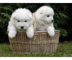 Samoyed puppy price in Madurai, Samoyed puppy for sale in Madurai