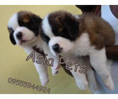 St.Bernard Price in India,St.Bernard puppy for sale in Gurgaon, INDIA  Aryan Jeky |Puppy | Asia Pets