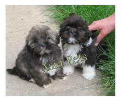 Lhasa apso puppy price in mumbai, Lhasa apso puppy for sale in mumbai