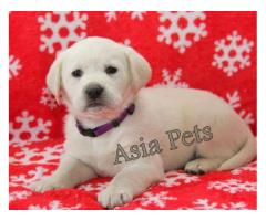 Labrador puppy price in mumbai, Labrador puppy for sale in mumbai