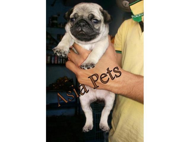 Pug puppy price in mumbai, Pug puppy for sale in mumbai