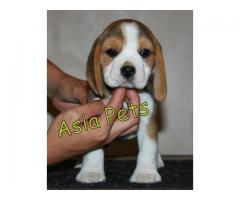 Beagle puppy price in mysore, Beagle puppy for sale in mysore