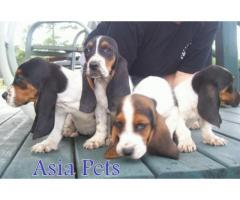 Basset hound puppy price in mysore, Basset hound puppy for sale in mysore