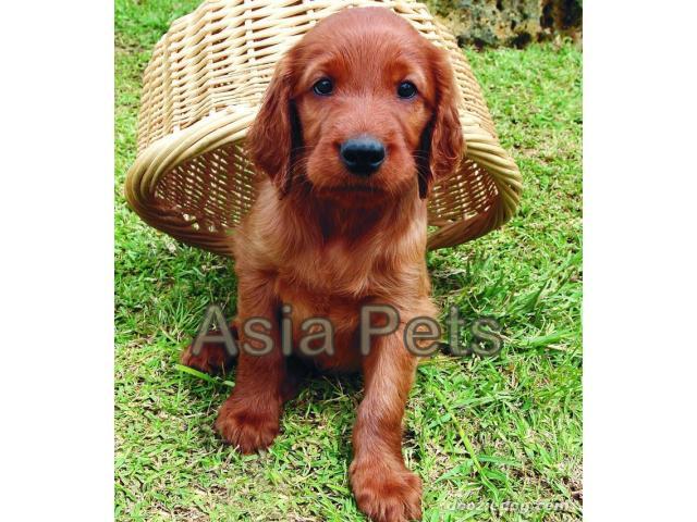 Irish setter puppy price in mysore, Irish setter puppy for sale in mysore