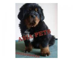 Tibetan mastiff puppy price in nagpur, Tibetan mastiff puppy for sale in nagpur
