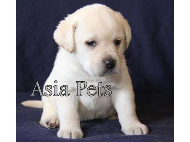 Labrador Retriever Price Delhi Labrador Pup Price Labrador