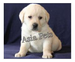 Puppies For Sale In Delhi| Puppies Price in Delhi| labrador retriever price delhi