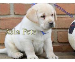 Labrador Retriever dogs for sale Delhi| Puppies For Sale In Delhi| Puppies Price in Delhi