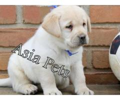Labrador puppy chocolate| Labrador pups in chocolate| chocolate labrador puppies for sale in delhi