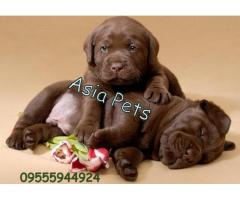 Labrador puppy chocolate| Chocolate labrador puppy for sale| Chocolate Labrador Puppies For Sale In