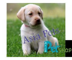 Labrador puppies Price| Labrador puppies for sale in delhi| Labrador puppies Price in delhi