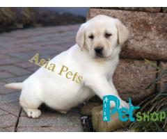labrador puppy for sale in Vikas Puri, Delhi