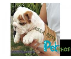 Bulldog puppy price in Mysore, Bulldog puppy for sale in Mysore