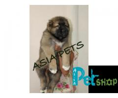 Cane corso puppy price in Mysore, Cane corso puppy for sale in Mysore