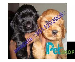 Cocker spaniel puppy price in Mysore, Cocker spaniel puppy for sale in Mysore