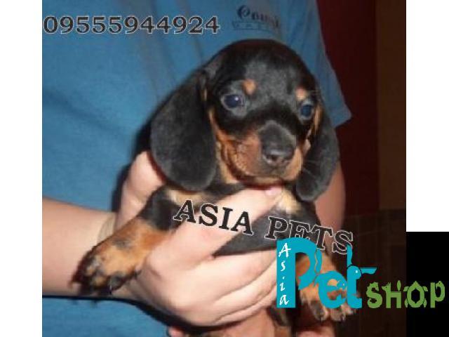 Dachshund puppy price in Mysore, Dachshund puppy for sale in Mysore