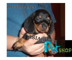 Dachshund puppy price in Mysore, Dachshund puppy for sale in Mysore