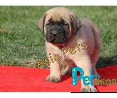 English Mastiff puppy price in Mysore, English Mastiff puppy for sale in Mysore