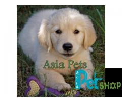 Golden retriever puppy for sale in Mysore, Golden retriever puppy for sale in Mysore