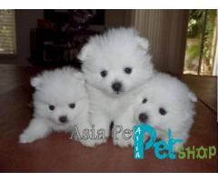 Pomeranian puppy price in Mysore, Pomeranian puppy for sale in Mysore