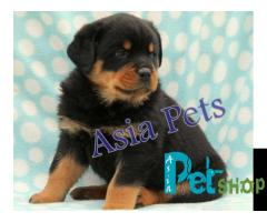 Rottweiler puppy price in Mysore, Rottweiler puppy for sale in Mysore