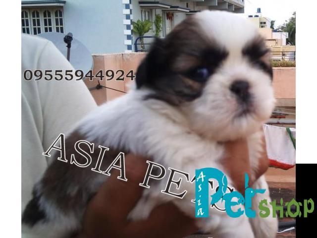 Shih tzu puppy price in Mysore, Shih tzu puppy for sale in Mysore