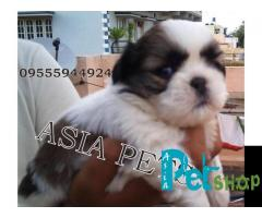 Shih tzu puppy price in Mysore, Shih tzu puppy for sale in Mysore
