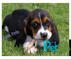Basset hound puppy price in Nagpur, Basset hound puppy for sale in Nagpur
