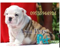 Bulldog puppy price in Nagpur, Bulldog puppy for sale in Nagpur