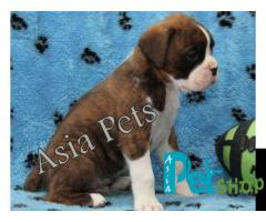 Boxer puppy price in Nagpur, Boxer puppy for sale in Nagpur