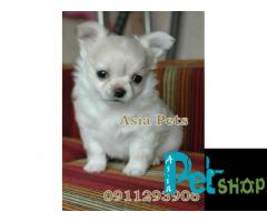 Chihuahua puppy price in Nagpur, Chihuahua puppy for sale in Nagpur