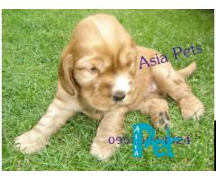 Cocker spaniel puppy price in Nagpur, Cocker spaniel puppy for sale in Nagpur