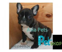French Bulldog puppy price in Nagpur, French Bulldog puppy for sale in Nagpur