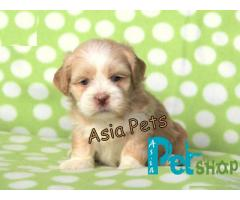 Lhasa apso puppy price in Nagpur, Lhasa apso puppy for sale in Nagpur