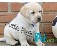 Labrador puppy price in Nagpur, Labrador puppy for sale in Nagpur