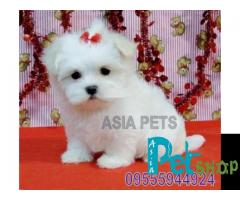 Maltese puppy price in Nagpur, Maltese puppy for sale in Nagpur