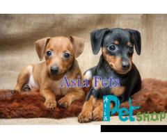 Miniature pinscher puppy price in Nagpur, Miniature pinscher puppy for sale in Nagpur