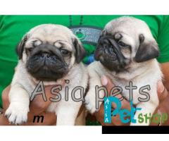 Pug puppy price in Nagpur, Pug puppy for sale in Nagpur