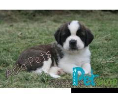 Saint bernard puppy price in Nagpur, Saint bernard puppy for sale in Nagpur