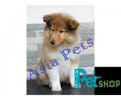 Rough collie puppy price in Nagpur, Rough collie puppy for sale in Nagpur