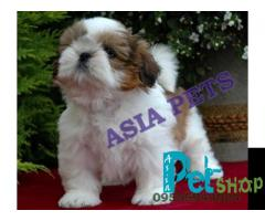 Shih tzu puppy price in Nagpur, Shih tzu puppy for sale in Nagpur