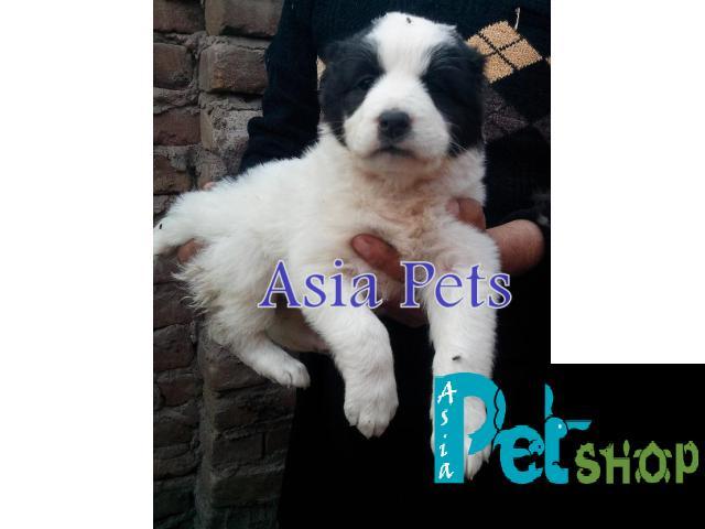 Alabai puppy price in Nashik, Alabai puppy for sale in Nashik