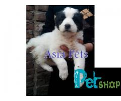 Alabai puppy price in Nashik, Alabai puppy for sale in Nashik