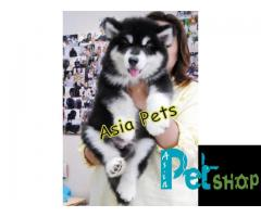 Alaskan malamute puppy price in Nashik, Alaskan malamute puppy for sale in Nashik
